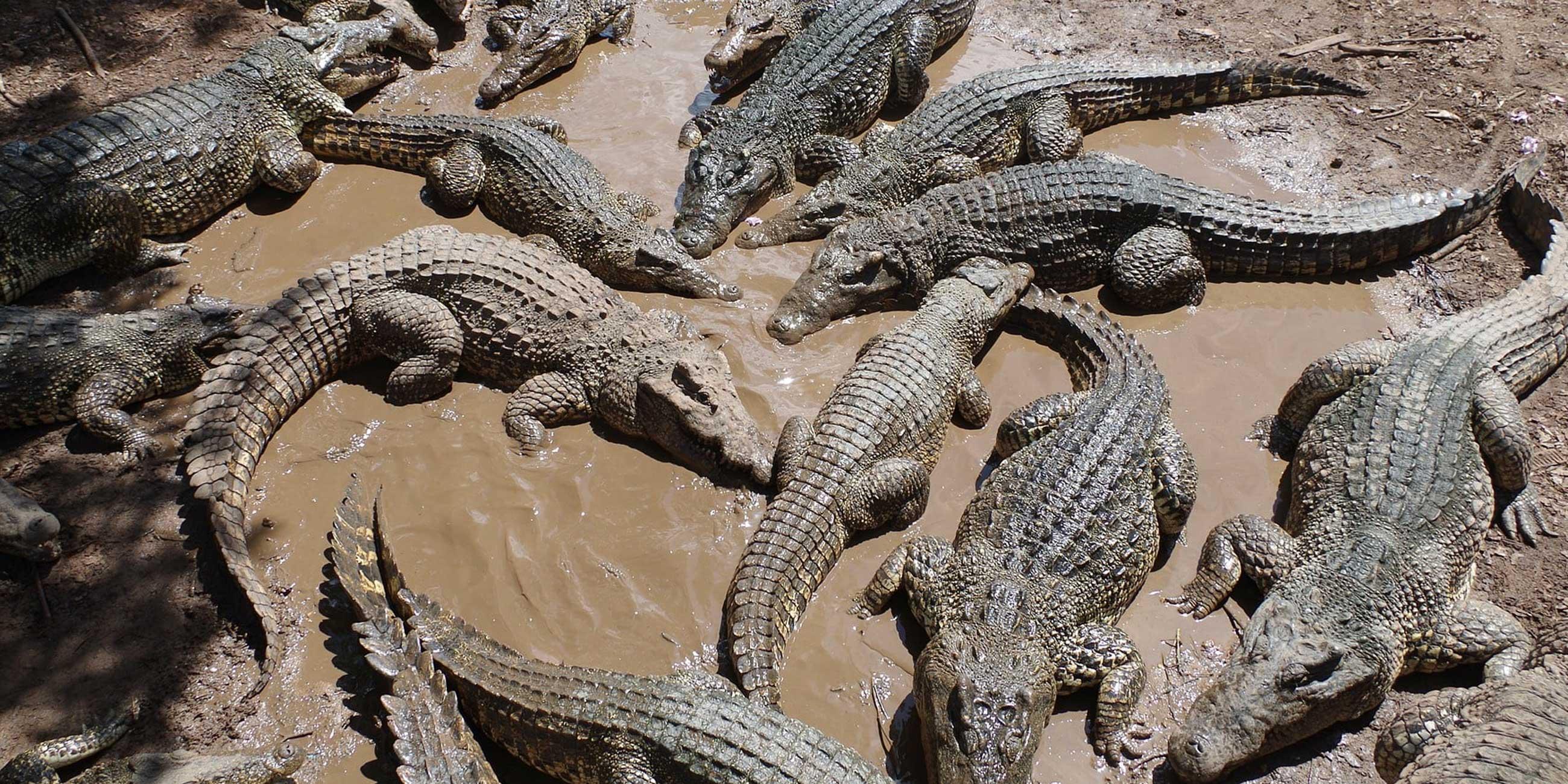 На ферме крокодилы живут не в вольерах под открытым небом