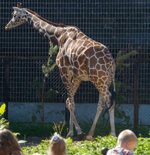 Жираф в зоопарке